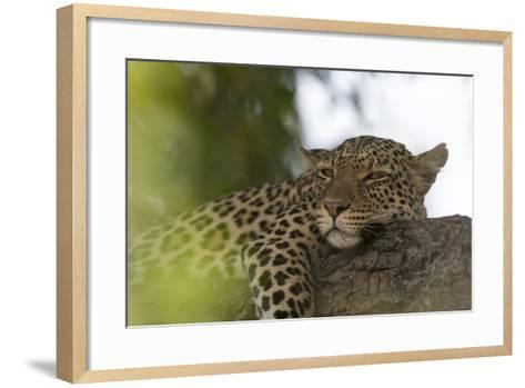 A Leopard, Panthera Pardus, Resting on a Tree Branch-Sergio Pitamitz-Framed Art Print