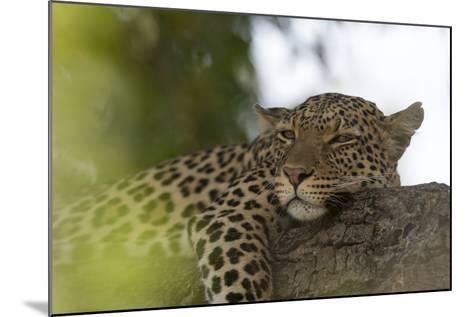 A Leopard, Panthera Pardus, Resting on a Tree Branch-Sergio Pitamitz-Mounted Photographic Print