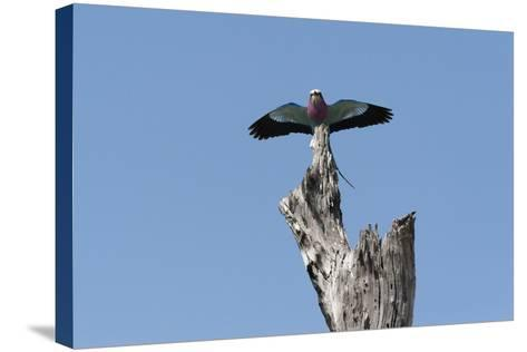 A Lilac-Breasted Roller, Coracias Caudatus, Landing on an Old Tree Snag-Sergio Pitamitz-Stretched Canvas Print