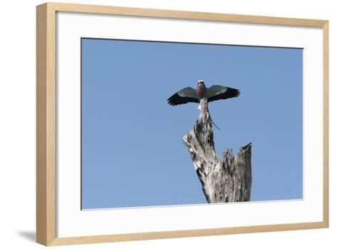 A Lilac-Breasted Roller, Coracias Caudatus, Landing on an Old Tree Snag-Sergio Pitamitz-Framed Art Print