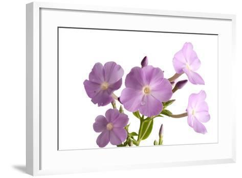A Meadow Phlox, Phlox Maculata-Joel Sartore-Framed Art Print
