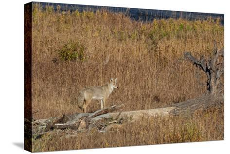 A Coyote Stands on a Fallen Tree-Tom Murphy-Stretched Canvas Print