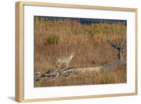 A Coyote Stands on a Fallen Tree-Tom Murphy-Framed Art Print