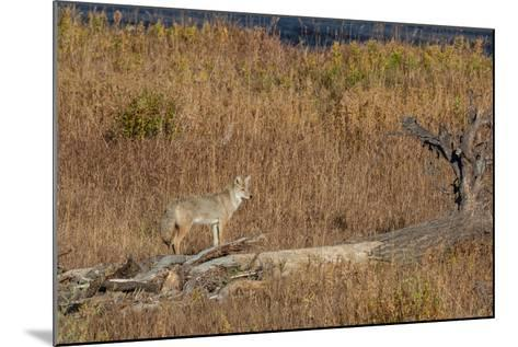 A Coyote Stands on a Fallen Tree-Tom Murphy-Mounted Photographic Print