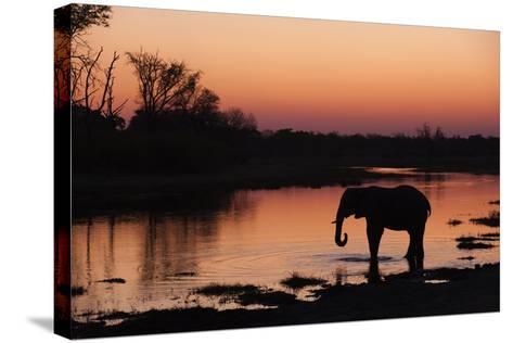 An African Elephant, Loxodonta Africana, Drinking in the Khwai River at Sunset-Sergio Pitamitz-Stretched Canvas Print