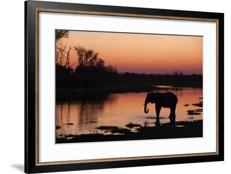An African Elephant, Loxodonta Africana, Drinking in the Khwai River at Sunset-Sergio Pitamitz-Framed Art Print