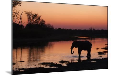 An African Elephant, Loxodonta Africana, Drinking in the Khwai River at Sunset-Sergio Pitamitz-Mounted Photographic Print