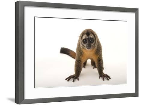 A Nancy Ma's Night Monkey, Aotus Nancymaae, at the Dallas World Aquarium-Joel Sartore-Framed Art Print