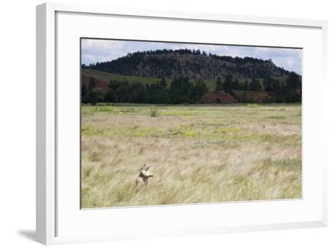 A Prairie Dog Stands Up in a Landscape of Prairie Grass-Stacy Gold-Framed Art Print