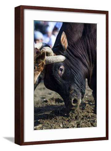 A Pair of Large Brahman Bull Heads Collide and Lock Horns During a Traditional Bull Fight-Jason Edwards-Framed Art Print