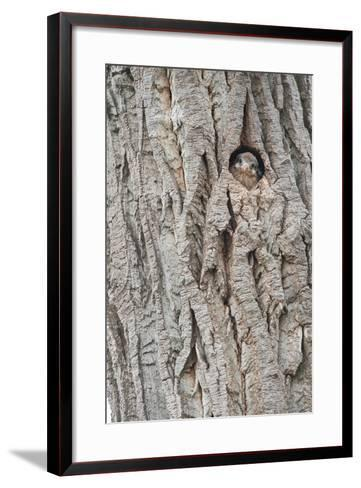 An American Kestrel Chick Peeks Out from its Nest Hole-Tom Murphy-Framed Art Print