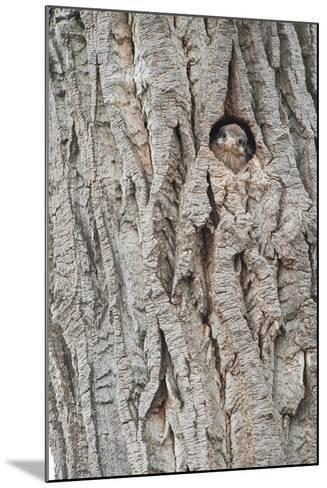 An American Kestrel Chick Peeks Out from its Nest Hole-Tom Murphy-Mounted Photographic Print