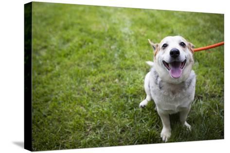 Close Up Portrait of an Adoptable Corgi Dog on a Leash Outdoors-Hannele Lahti-Stretched Canvas Print