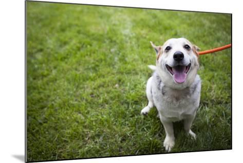 Close Up Portrait of an Adoptable Corgi Dog on a Leash Outdoors-Hannele Lahti-Mounted Photographic Print