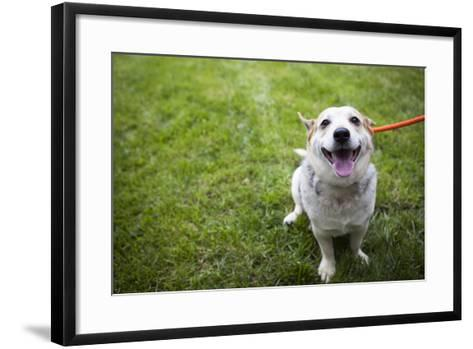 Close Up Portrait of an Adoptable Corgi Dog on a Leash Outdoors-Hannele Lahti-Framed Art Print