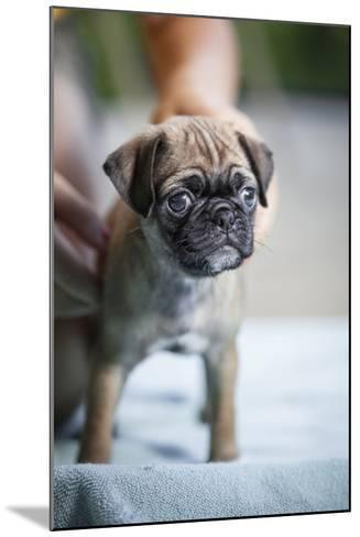 Close Up View of a Pug Puppy Standing on a Blue Towel-Hannele Lahti-Mounted Photographic Print