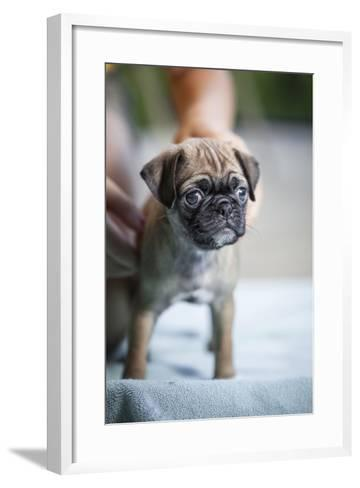 Close Up View of a Pug Puppy Standing on a Blue Towel-Hannele Lahti-Framed Art Print