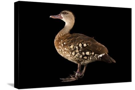 A Spotted Whistling Duck, Dendrocygna Guttata, at the Palm Beach Zoo-Joel Sartore-Stretched Canvas Print