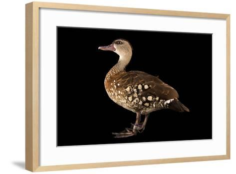 A Spotted Whistling Duck, Dendrocygna Guttata, at the Palm Beach Zoo-Joel Sartore-Framed Art Print