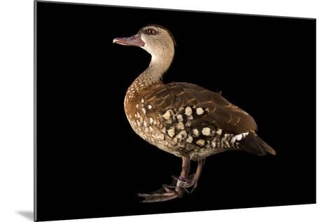 A Spotted Whistling Duck, Dendrocygna Guttata, at the Palm Beach Zoo-Joel Sartore-Mounted Photographic Print