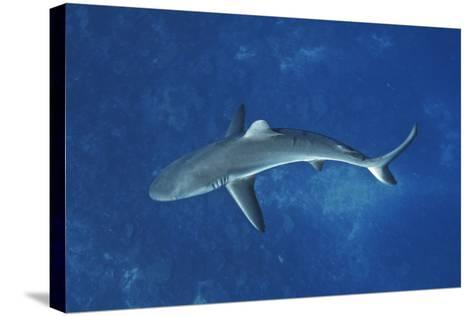 A Gray Reef Shark Patrols in the Pristine Waters Off Millennium Atoll-Mauricio Handler-Stretched Canvas Print