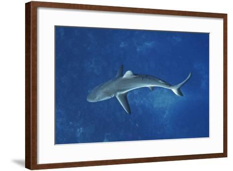 A Gray Reef Shark Patrols in the Pristine Waters Off Millennium Atoll-Mauricio Handler-Framed Art Print