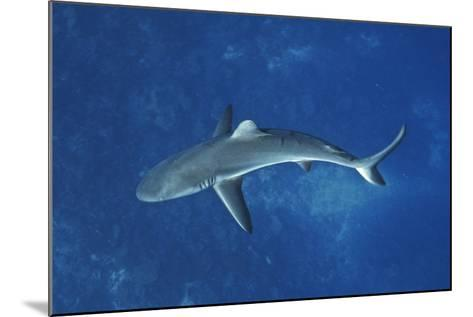 A Gray Reef Shark Patrols in the Pristine Waters Off Millennium Atoll-Mauricio Handler-Mounted Photographic Print
