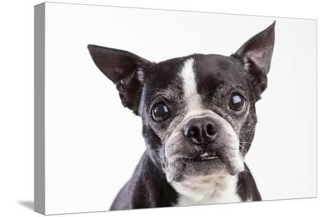 Portrait of an Older Boston Terrier Against a White Background-Hannele Lahti-Stretched Canvas Print