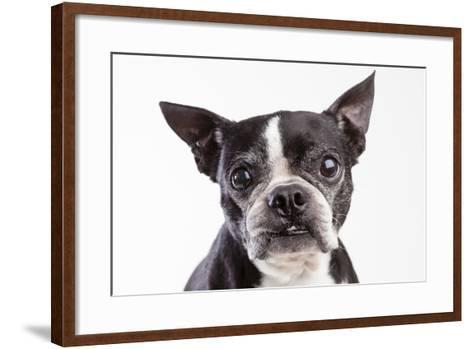 Portrait of an Older Boston Terrier Against a White Background-Hannele Lahti-Framed Art Print
