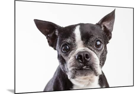 Portrait of an Older Boston Terrier Against a White Background-Hannele Lahti-Mounted Photographic Print