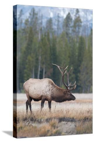 Side View of a Bull Elk in a Field-Tom Murphy-Stretched Canvas Print