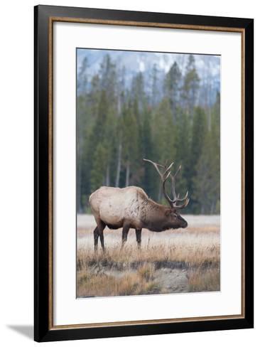 Side View of a Bull Elk in a Field-Tom Murphy-Framed Art Print