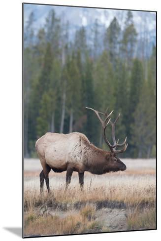 Side View of a Bull Elk in a Field-Tom Murphy-Mounted Photographic Print