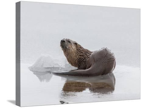 A Northern River Otter Looks Up from Icy Waters-Tom Murphy-Stretched Canvas Print