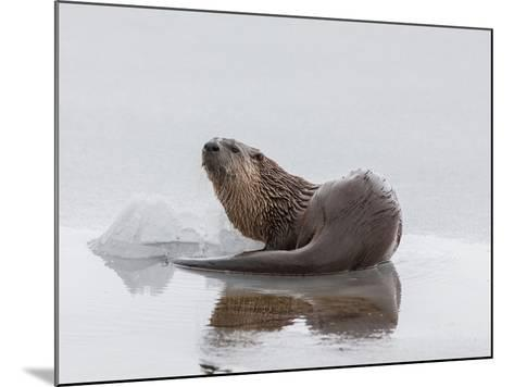 A Northern River Otter Looks Up from Icy Waters-Tom Murphy-Mounted Photographic Print