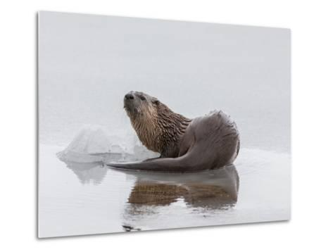 A Northern River Otter Looks Up from Icy Waters-Tom Murphy-Metal Print