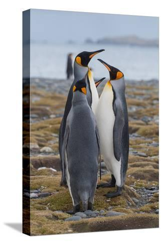 Four Adult King Penguins Stand on a Beach-Tom Murphy-Stretched Canvas Print