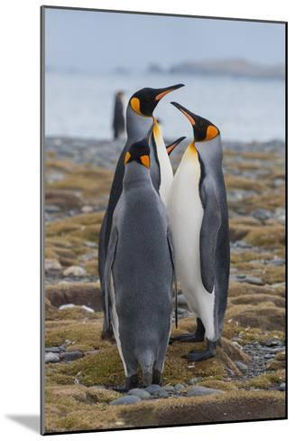 Four Adult King Penguins Stand on a Beach-Tom Murphy-Mounted Photographic Print