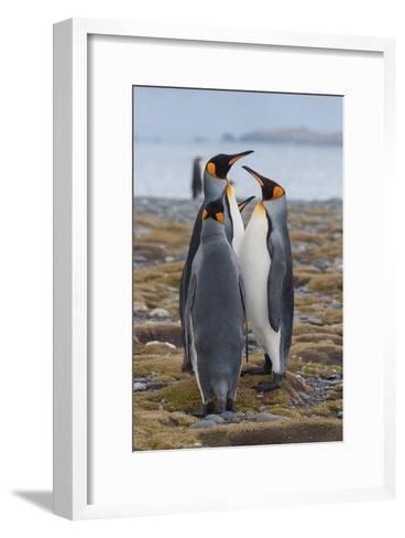Four Adult King Penguins Stand on a Beach-Tom Murphy-Framed Art Print