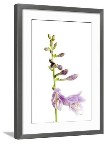 A Studio Shot of a Hosta Plant, Hosta Clausa-Joel Sartore-Framed Art Print