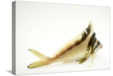 A Western Crested Morwong, Cheilodactylus Gibbosus, at Omaha's Henry Doorly Zoo and Aquarium-Joel Sartore-Stretched Canvas Print