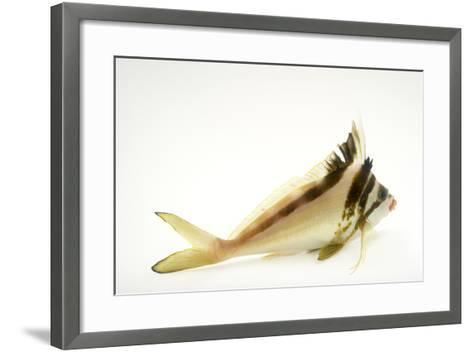 A Western Crested Morwong, Cheilodactylus Gibbosus, at Omaha's Henry Doorly Zoo and Aquarium-Joel Sartore-Framed Art Print
