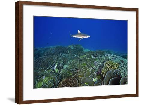 A Gray Reef Shark Patrols over a Coral Reef in Pristine Waters Off Millennium Atoll-Mauricio Handler-Framed Art Print