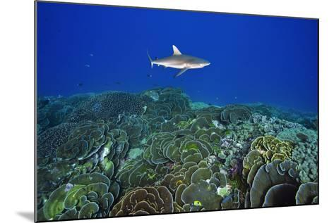 A Gray Reef Shark Patrols over a Coral Reef in Pristine Waters Off Millennium Atoll-Mauricio Handler-Mounted Photographic Print