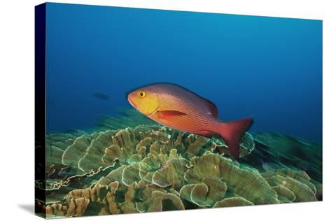 A Red Snapper Cruises over a Pristine Fringing Coral Reef Off Millennium Atoll-Mauricio Handler-Stretched Canvas Print