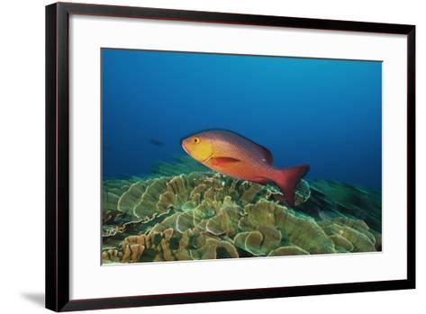 A Red Snapper Cruises over a Pristine Fringing Coral Reef Off Millennium Atoll-Mauricio Handler-Framed Art Print