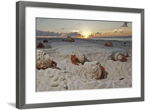 Hermit Crabs Crawl on a Sandy Beach on the Deserted Starbuck Island in the Southern Line Islands-Mauricio Handler-Framed Art Print