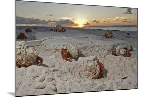 Hermit Crabs Crawl on a Sandy Beach on the Deserted Starbuck Island in the Southern Line Islands-Mauricio Handler-Mounted Photographic Print