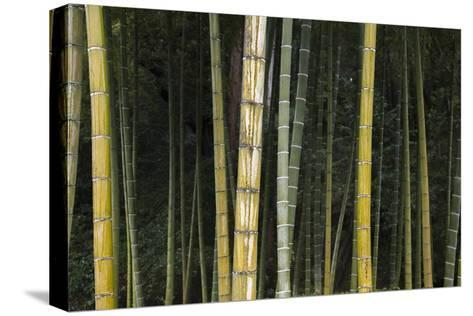 A Bamboo Forest in Koinzan Saihoji, Popularly known as Kokedera or Moss Temple-Macduff Everton-Stretched Canvas Print