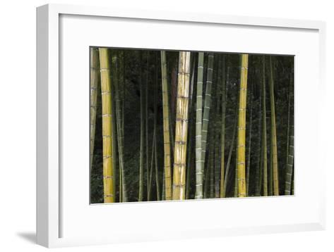 A Bamboo Forest in Koinzan Saihoji, Popularly known as Kokedera or Moss Temple-Macduff Everton-Framed Art Print